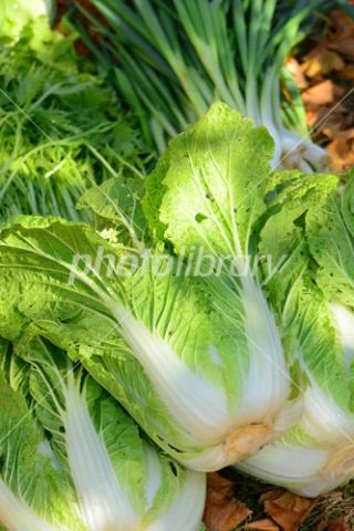 4648304 白菜