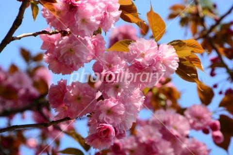 4841029 八重桜