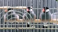 餅文鳥トリオ