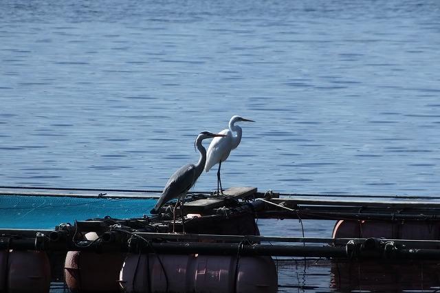 大島海峡の野鳥