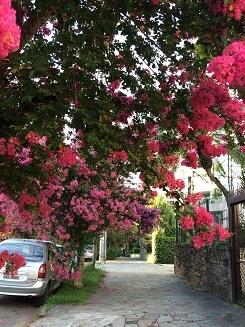百日紅 街路樹1
