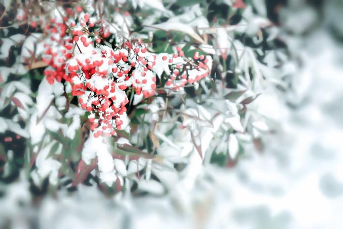 赤い実と雪