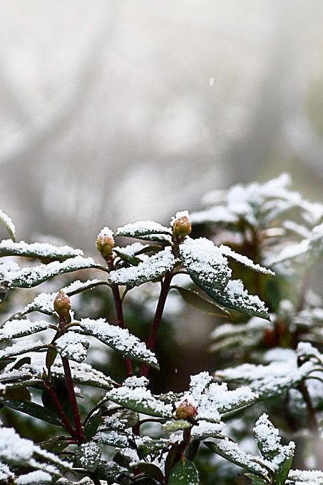 シャクナゲと雪