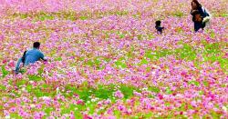 田んぼに咲くコスモス