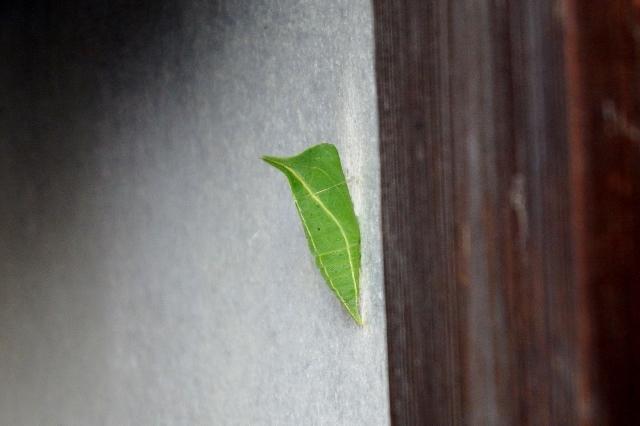 こんな所に「アオスジアゲハ」の蛹が!