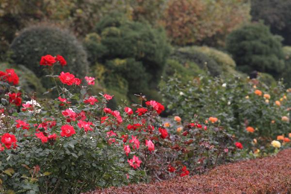 20161108秋バラの庭