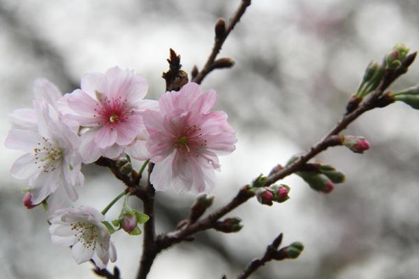 20161108十月桜