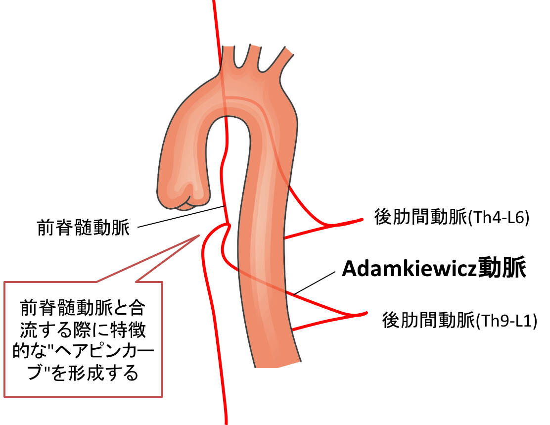 Adamkiewicz-artery.png