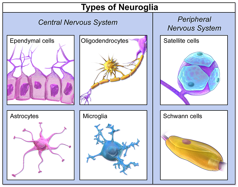 Types-of-neuroglia_brain-physiology-cells-QBI.png