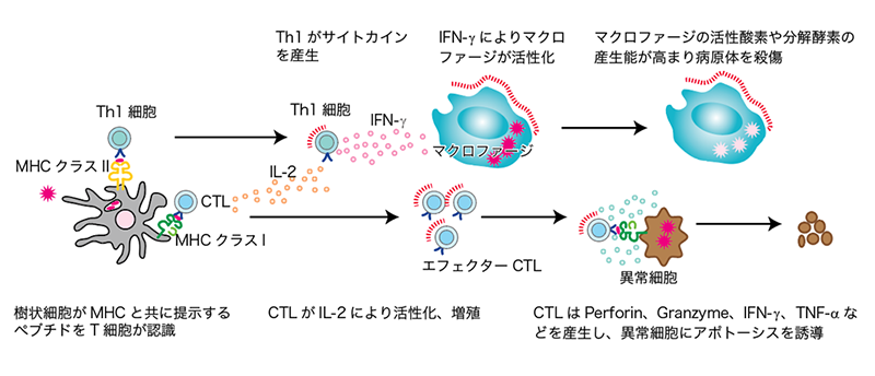 cell-mediated-immunity_1_L.png