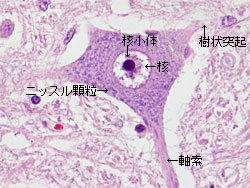 neuron$.jpg
