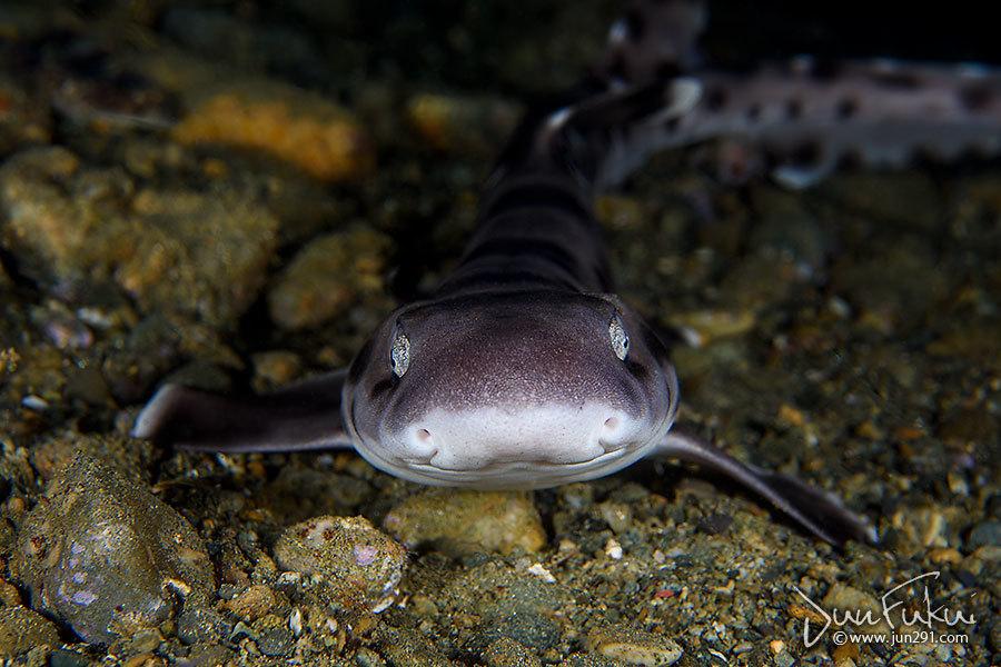 サンゴトラザメ