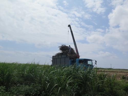 波照間島 サトウキビ収穫風景