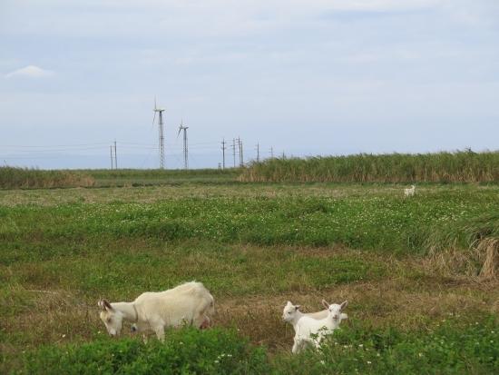 波照間島 可倒式風力発電風車とヒージャー親子