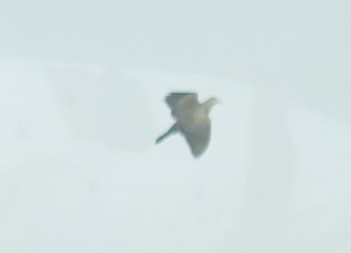 石垣島 猛禽?