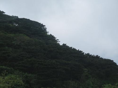 石垣島 リュウキュウマツ