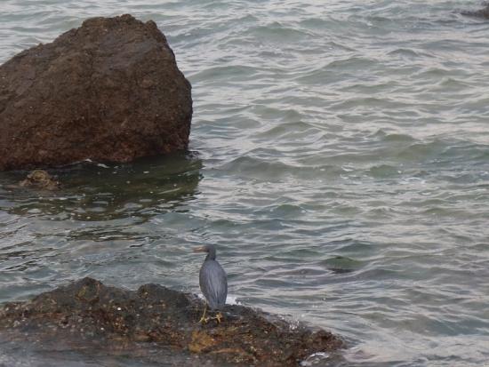 石垣島 クロサギ