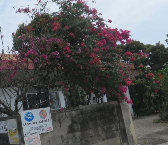 石垣島 緋寒桜とブーゲンビリア