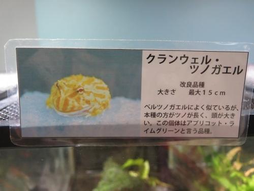 東京タワー水族館 クランウェル・ツノガエル