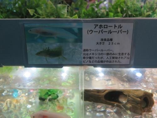 東京タワー水族館 アホロートル