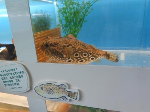 東京タワー水族館 インドシナ・レオパード・パファー