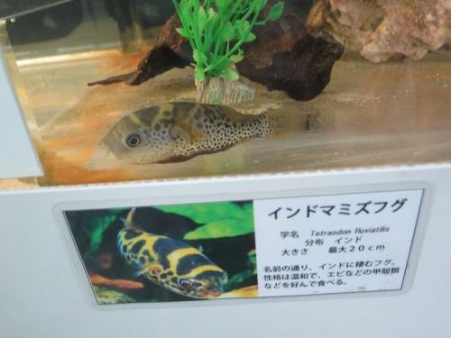 東京タワー水族館 インドマミズフグ