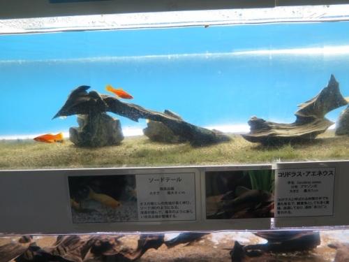 東京タワー水族館 ソードテール