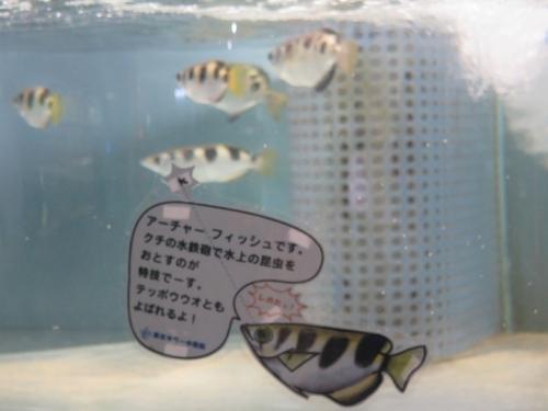 東京タワー水族館 アーチャーフィッシュ