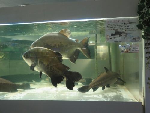 東京タワー水族館 レッドテールキャット他