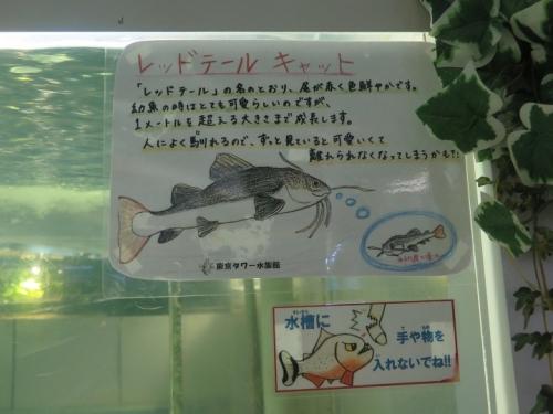 東京タワー水族館 レッドテールキャット