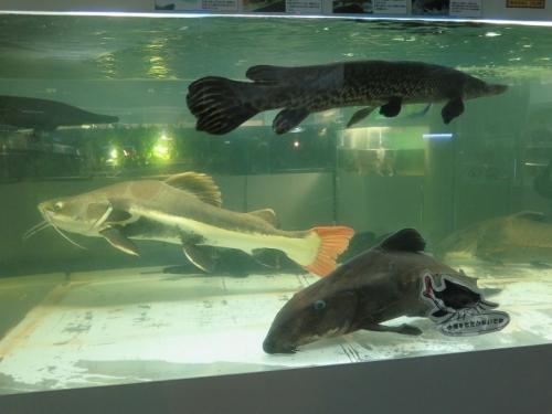 東京タワー水族館 レッドテールキャット、アリゲーターガー、オキシドラス