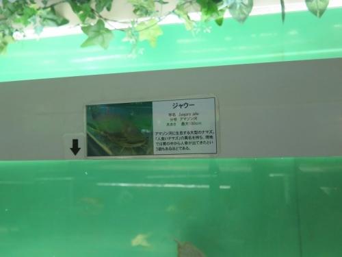 東京タワー水族館 ジャウー