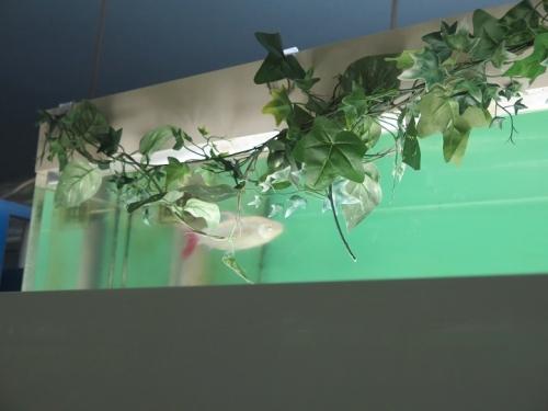 東京タワー水族館 ピンクテールカラシン