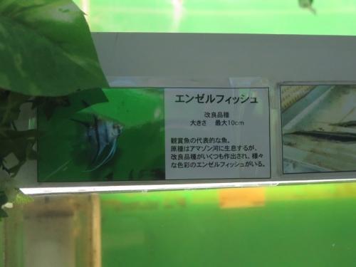 東京タワー水族館 エンゼルフィッシュ