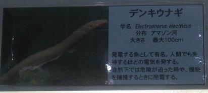 東京タワー水族館 デンキウナギ