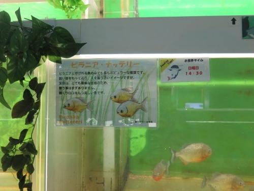 東京タワー水族館 ピラニア・ナッテリー