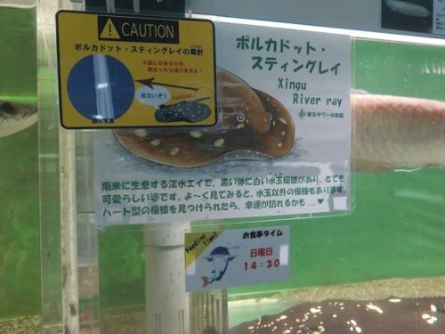 東京タワー水族館 ポルカドットスティングレイ