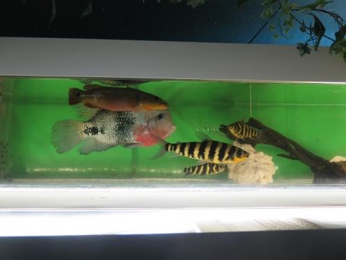 東京タワー水族館 マクリコウダ、レボリナス・デステモス、レボリナス・ファンアータス