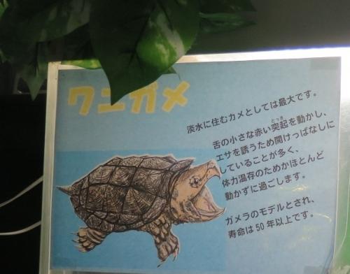 東京タワー水族館 ワニガメ