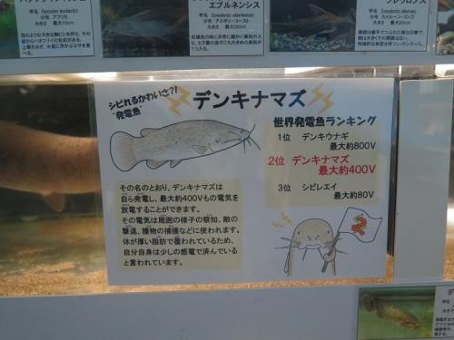 東京タワー水族館 デンキナマズ