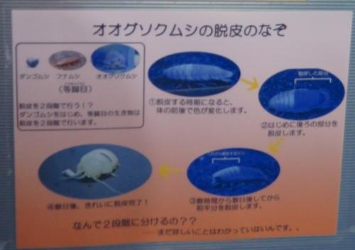 東京タワー水族館 オオグソクムシの脱皮