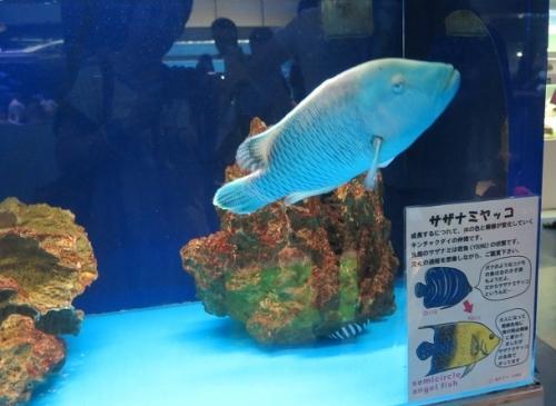 東京タワー水族館 メガネモチノウオ
