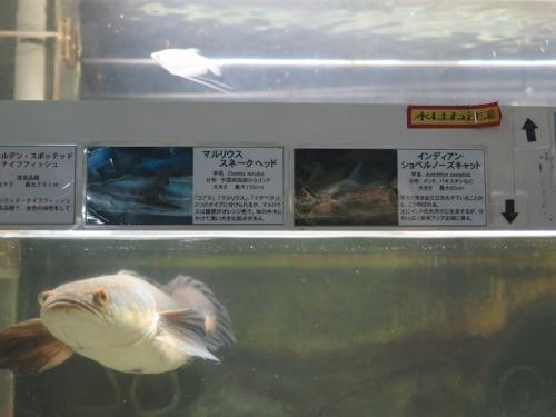 東京タワー水族館 マウリウス・スネークヘッド