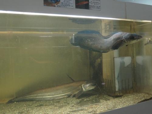 東京タワー水族館 ブラックスネークヘッド