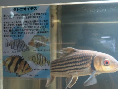 東京タワー水族館 タイガーバルブ
