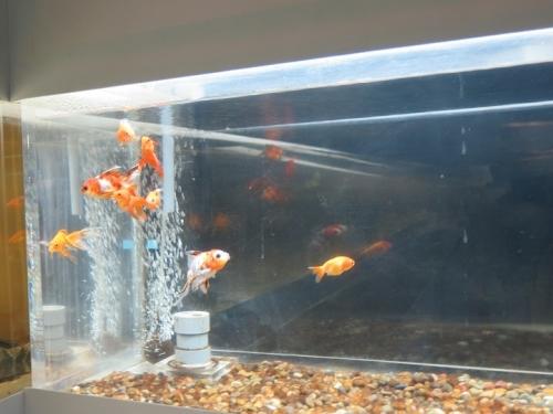 東京タワー水族館 金魚たち