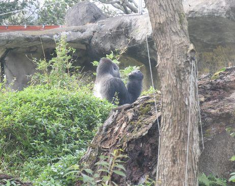 taipeizoo_010_gorilla_1601.jpg