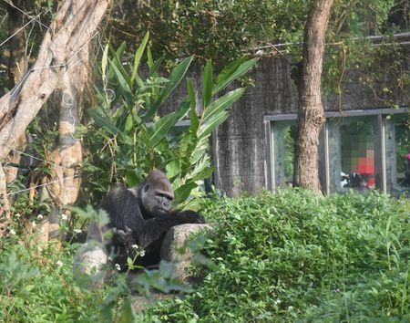 taipeizoo_gorilla_014_1601.jpg