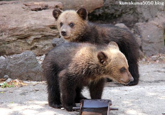 クマの赤ちゃん_15
