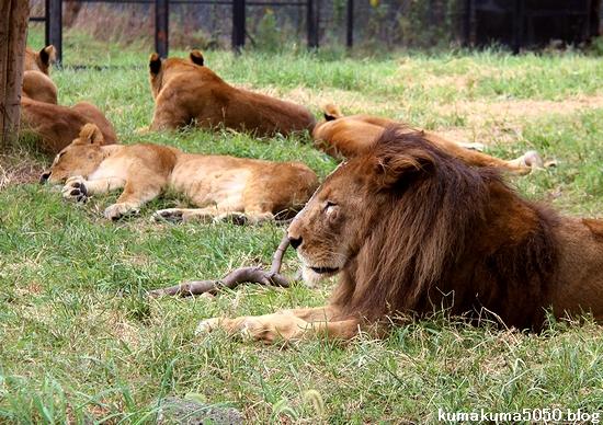 ライオン_1297